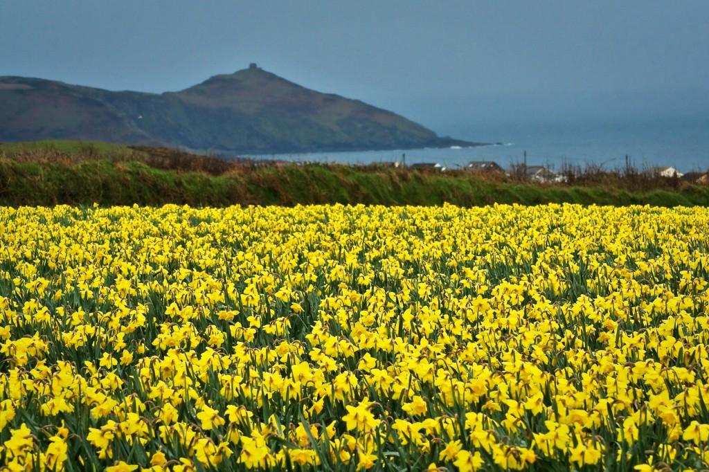 Cornwall_Daffodils